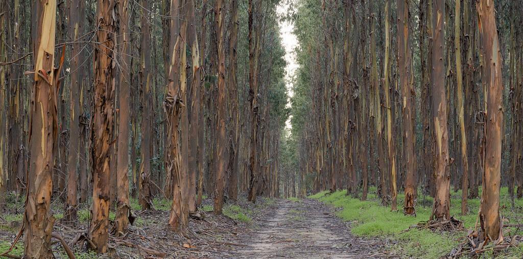 estrada no meio de um eucaliptal