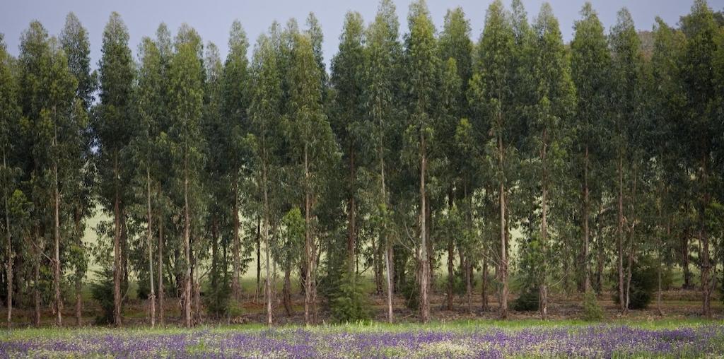 floresta de eucaliptos e alfazema