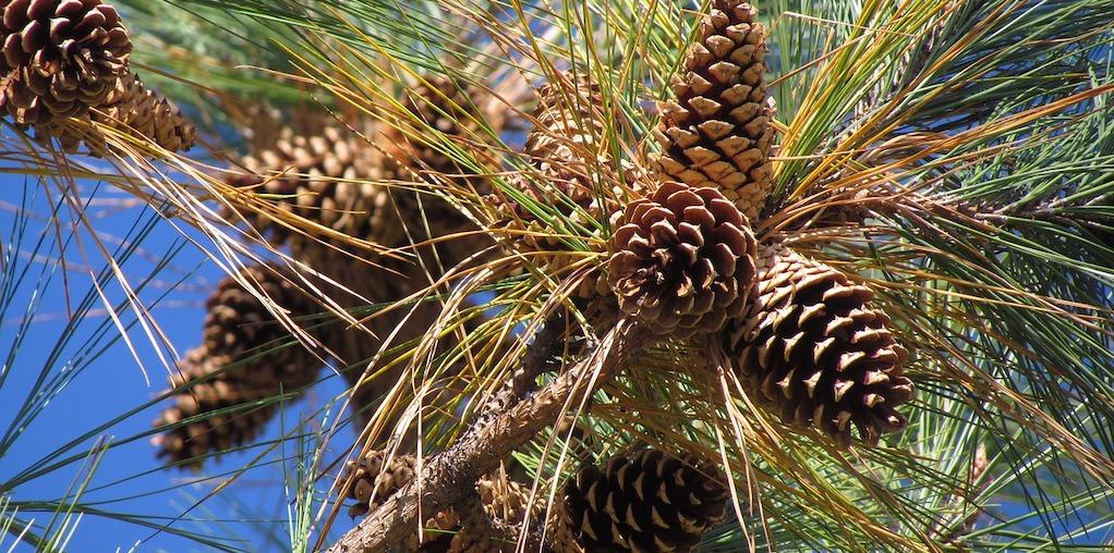 Pinhas no pinheiro