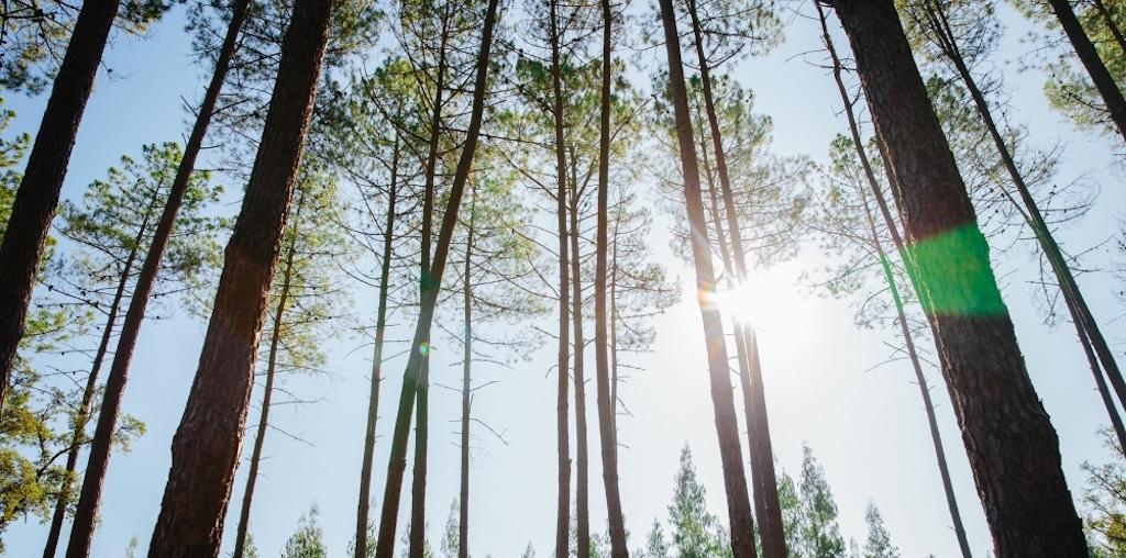 pinheiros com sol em contra-luz