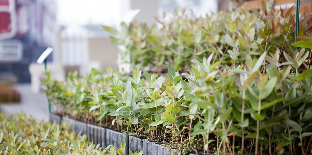 amostras de planta de eucalipto melhorada