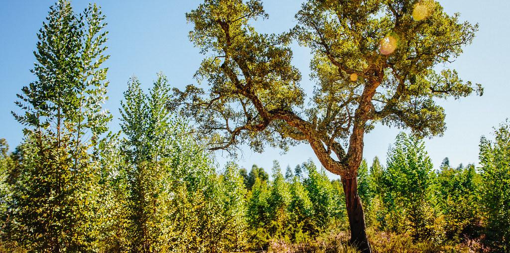 sobreiro e eucaliptos jovens