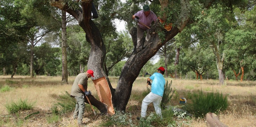 homens a retirar cortiça da árvore