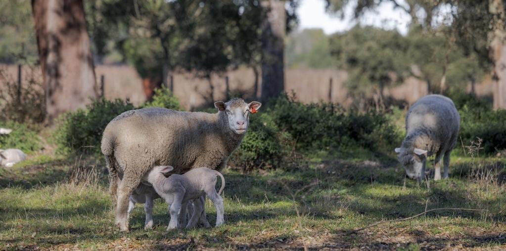 ovelhas a pastar
