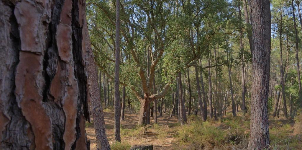 pinheiro sobreiro