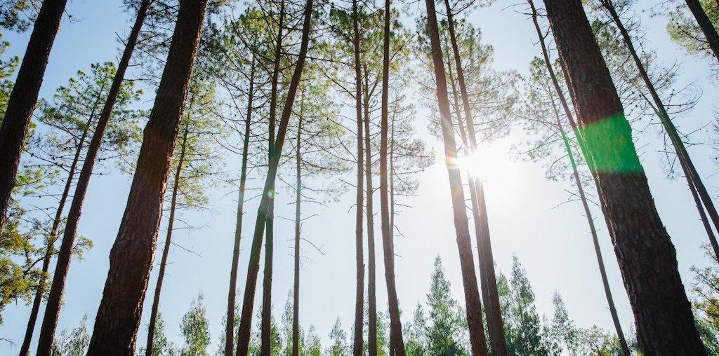 pinheiros à contra-luz
