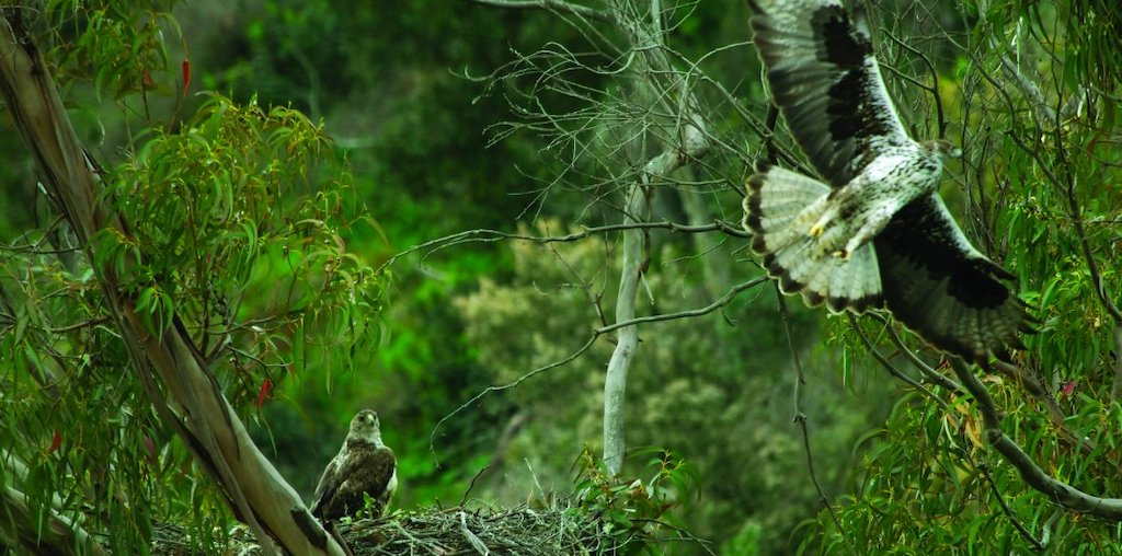 águia de bonelli