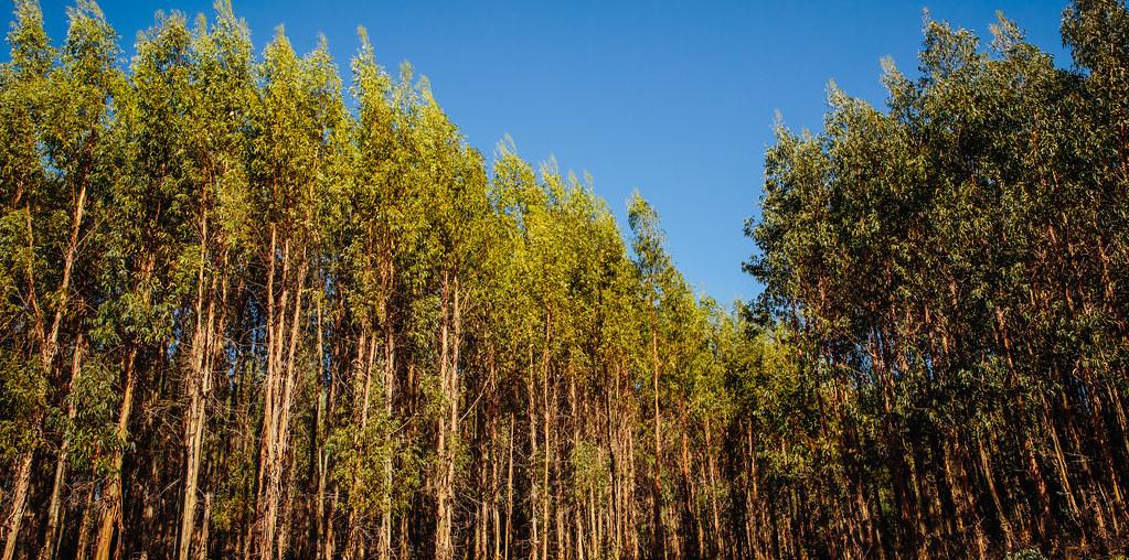 produção de eucalipto