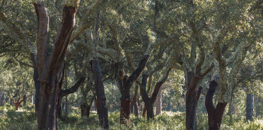 floresta de sobreiro